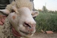 Осторожно, оспа овец!